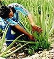 Aloe Vera: la planta de los mil usos